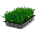 wheatgrass,tray